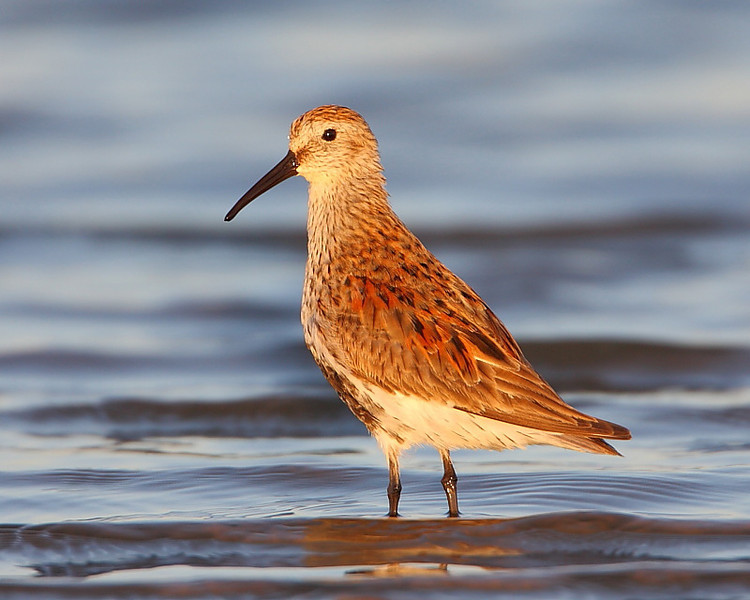 HS-014: Dunlin  Taken in Louisiana