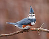 HS-008: Belted Kingfisher