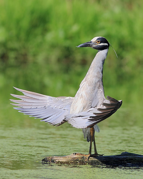 HS-002: Yellow-crowned Night-heron