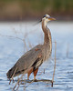 HS-040: Great Blue Heron