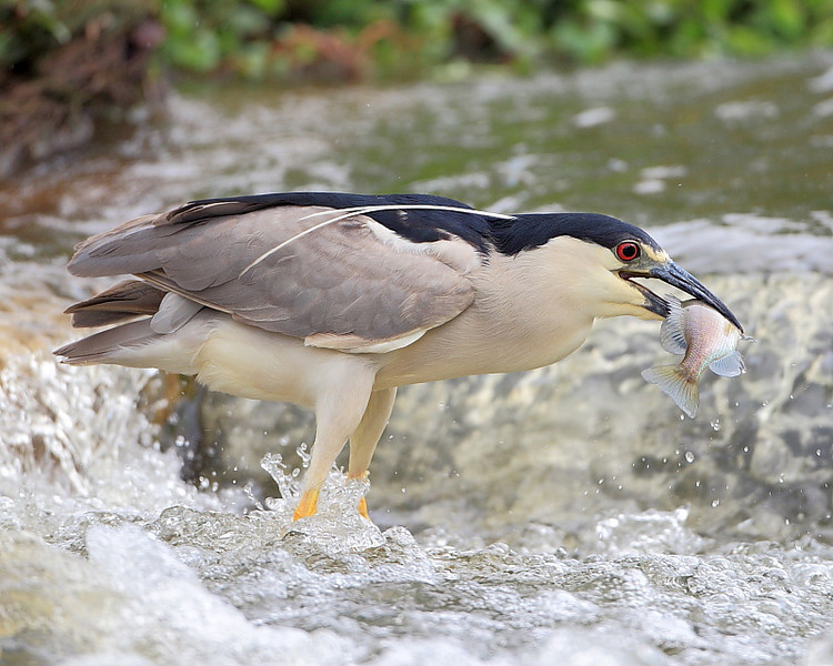 HS-029: Black-crowned Night-heron