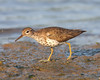 HS-005: Spotted Sandpiper