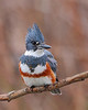 HS-009: Belted Kingfisher
