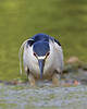 HS-031: Black-crowned Night-heron