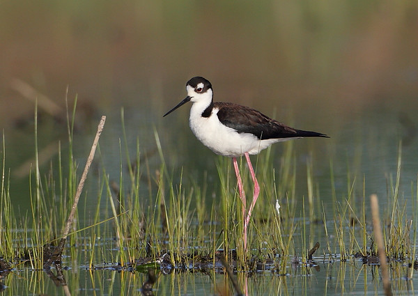 HS-56: Black-necked Stilt