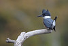 HS-63: Belted Kingfisher