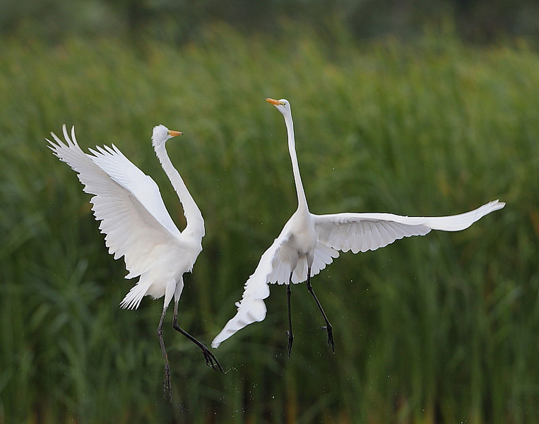 HS-036: Great Egrets