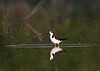 HS-58: Black-necked Stilt