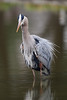 HS-049: Great Blue Heron