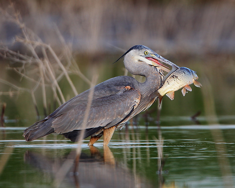 HS-041: Great Blue Heron