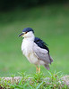 HS-016: Black-crowned Night-heron