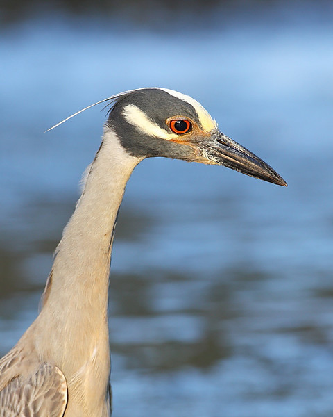 HS-026: Yellow-crowned Night-heron