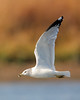 HS-046: Ring-billed Gull