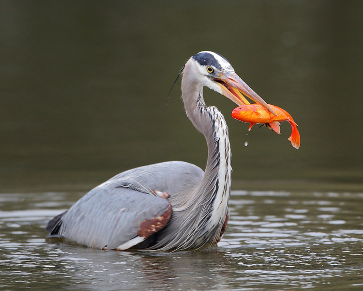HS-048: Great Blue Heron