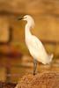HS-022: Snowy Egret
