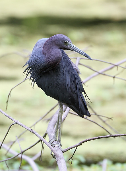 HS-60: Little Blue Heron