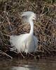HS-024: Snowy Egret