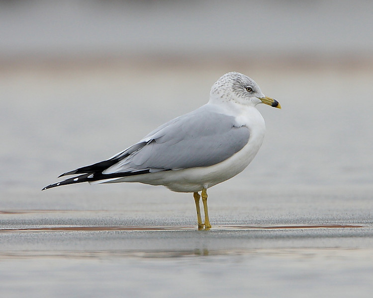 HS-018: Ring-billed Gull