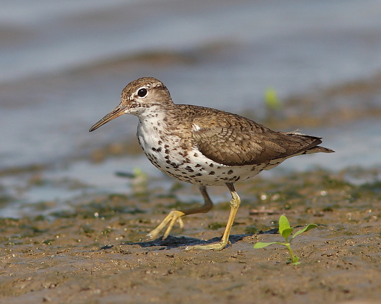 HS-006: Spotted Sandpiper