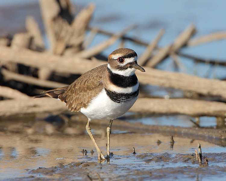 HS-017: Killdeer