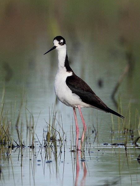 HS-59: Black-necked Stilt