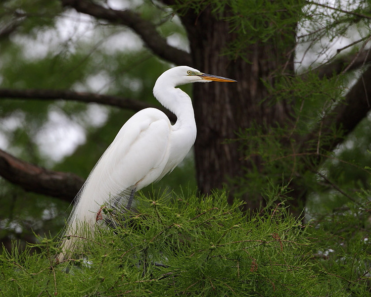 HS-50: Great Egret