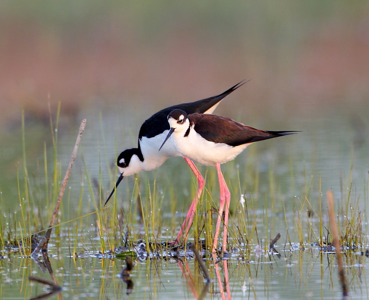 HS-57: Black-necked Stilts