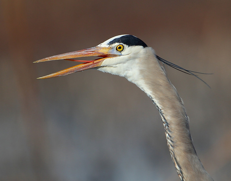 HS-037: Great Blue Heron