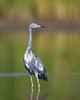 HS-034: Little Blue Heron - Transitional