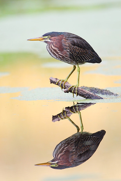 HS-045: Green Heron Reflection