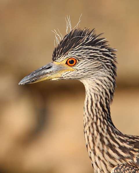 HS-032: Juvenile Yellow-crowned Night-heron