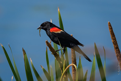 Male Red Winged Blackbird with Insect
