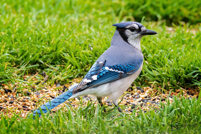 Blue Jay - Male
