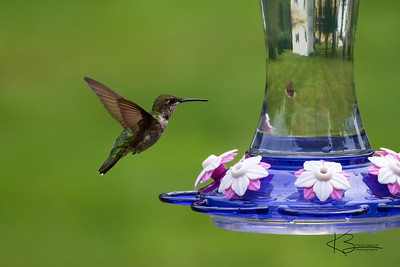Ruby-Throated Hummingbird - Adolescent