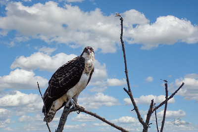 Osprey - Male with Dragonflies