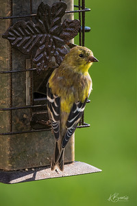 Goldfinch - Adolescent