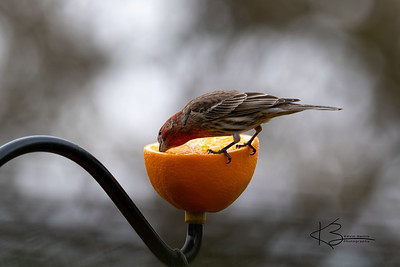 Male House Finch Eating Orange
