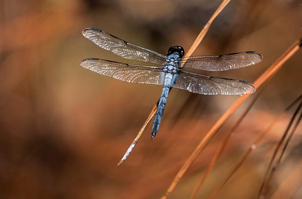 Dragonfly taken at First Landing State Park, Virginia.