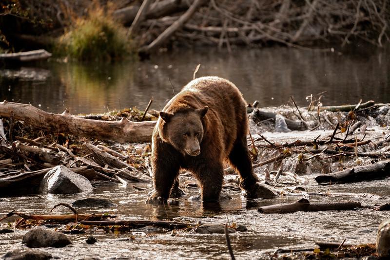 Bear Gaze