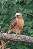 Red-shouldered Hawk (Front)