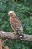 Red-shouldered Hawk (Back)