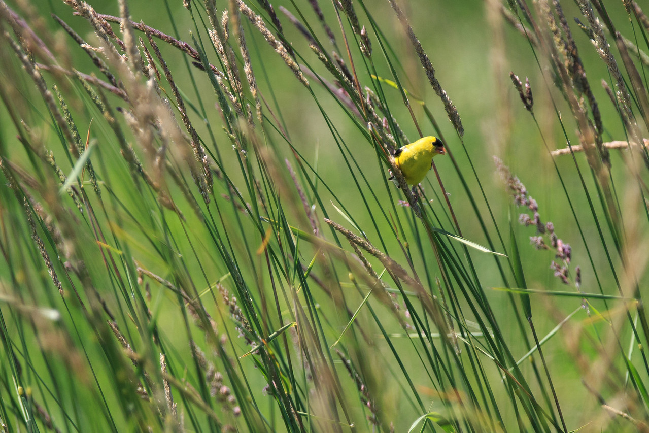 American Goldfinch, Nisqually wildlife refuge, Washington.