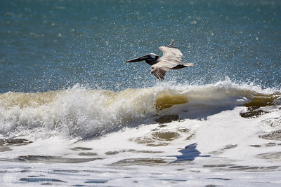 Pelican on the Hunt