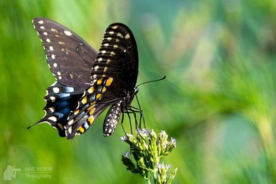 Swallowtail in the Summer