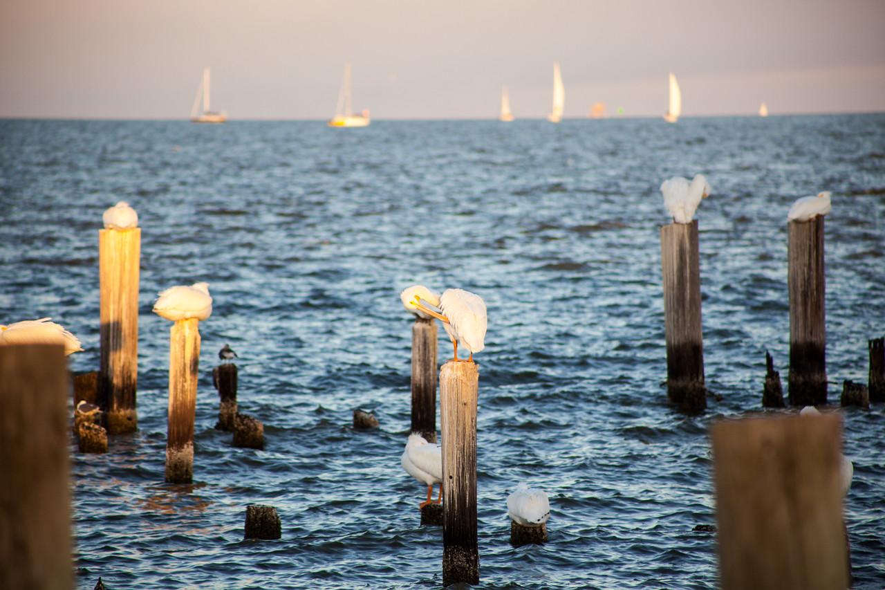 White Pelicans Wintering in Galveston Bay