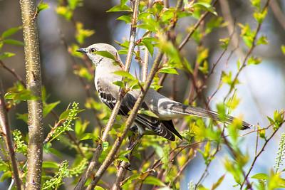 Mockingbird @ Alsopp Park