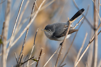 Gnatcatcher Caught in the Act