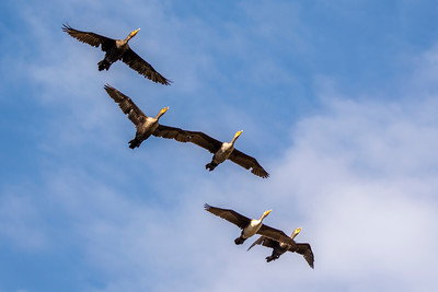 Flight of the Cormorants
