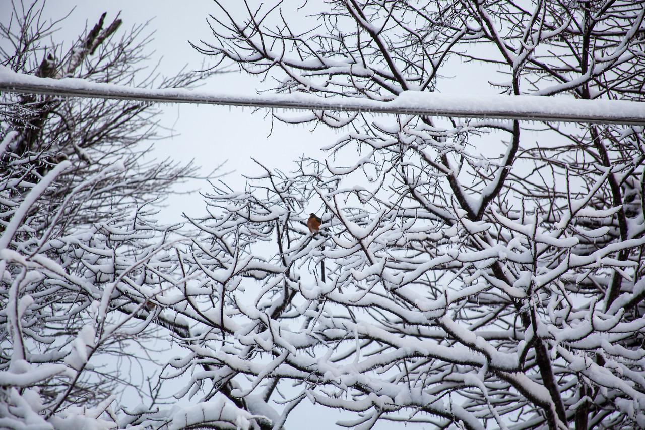 Robin in the snow bushes, Arkansas