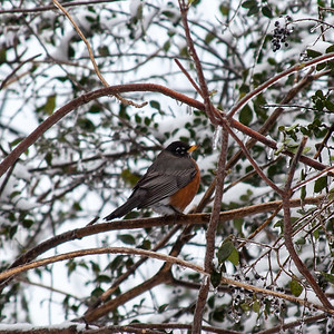 Robin in the snow, Sherwood, AR